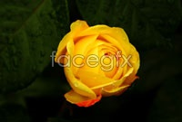 Yellow rose photo high resolution images