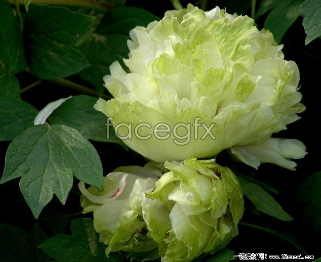 Green Peony HD picture