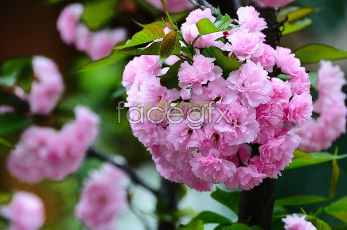 Pink cherry blossom HD pictures
