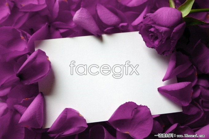 Purple roses high definition pictures
