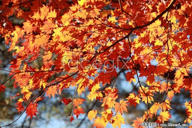 Red Maple Leaf HD Photo