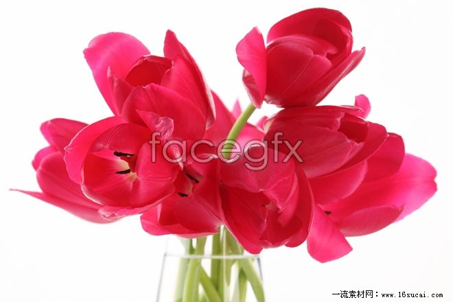 Red tulips HD picture