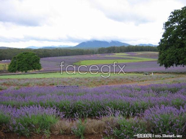 Lavender cultivation base HD pictures