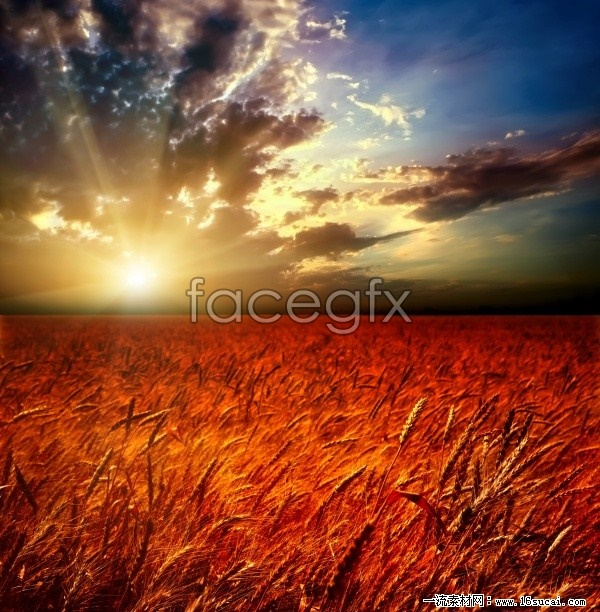 Sunset scenery in wheat fields high definition pictures