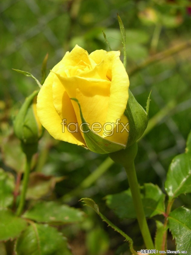 Download HD yellow roses pictures