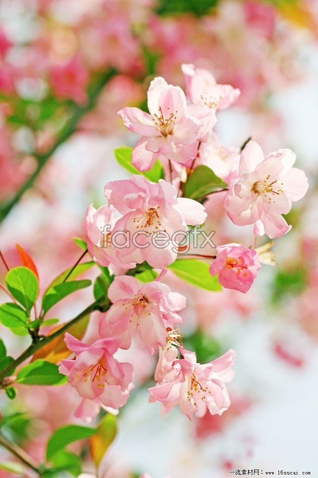 Pink cherry blossoms high definition pictures