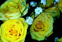Yellow roses pictures HD