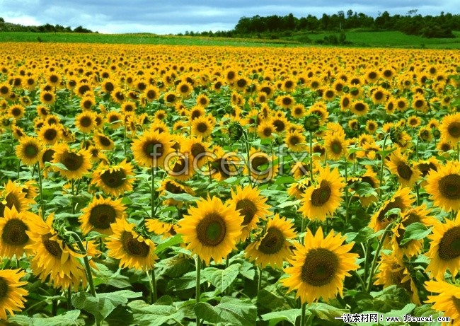 Sunflower HD picture