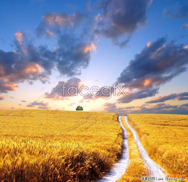 Golden rice fields in the fall high definition pictures