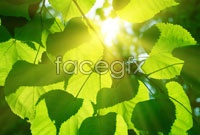 Green leaves HD picture