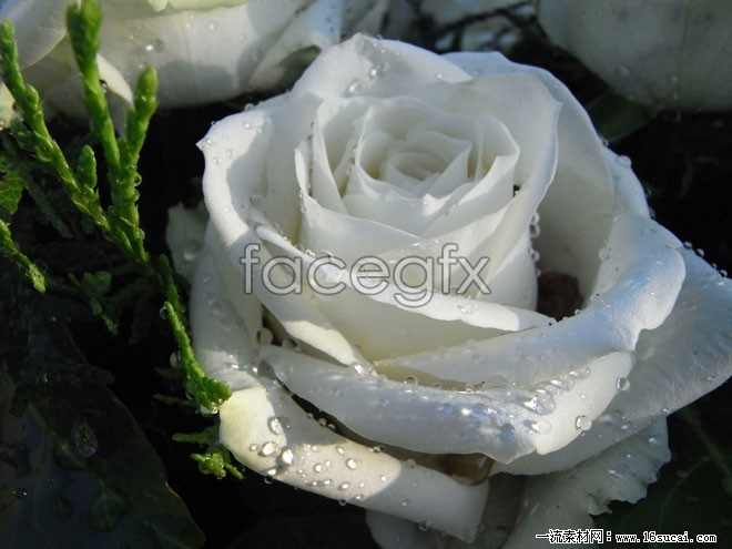 White roses photo album HD pictures