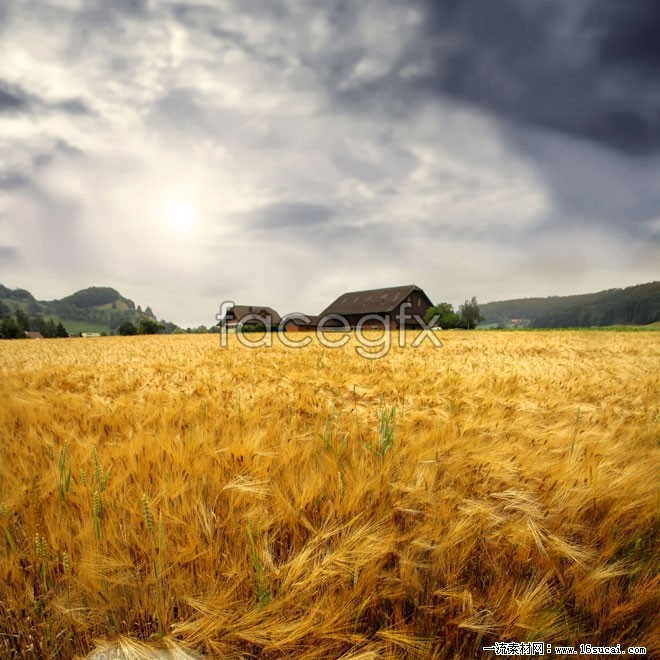 Autumn paddy field landscape high resolution images