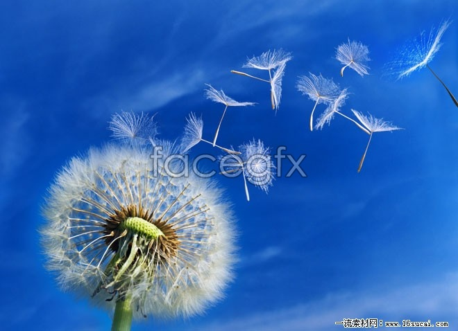 HD dandelion picture
