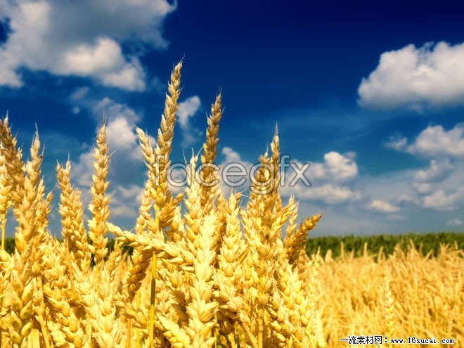 HD golden wheat picture
