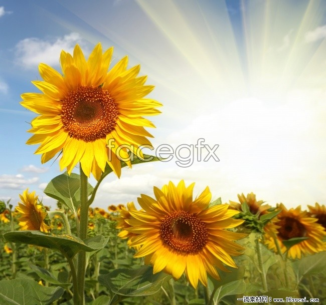 HD sunflower picture