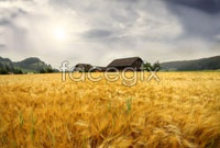Autumn harvest paddy views  picture
