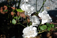 White rose photo HD picture
