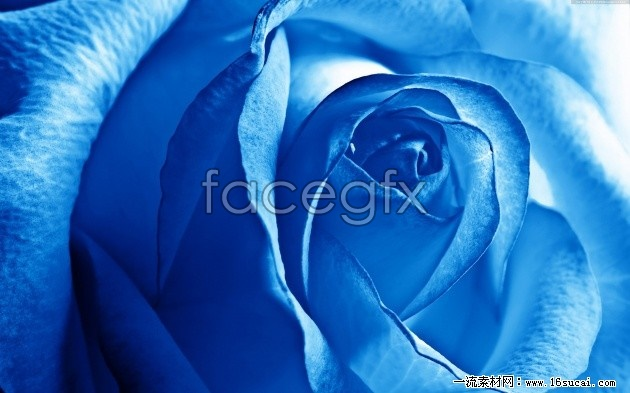 Blue Roses high definition pictures
