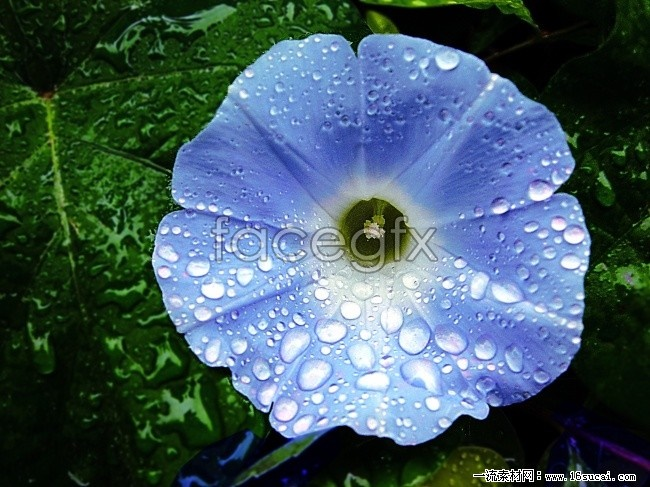 Purple morning glory HD pictures