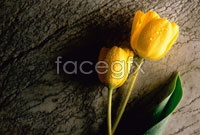 Yellow Tulip high definition pictures