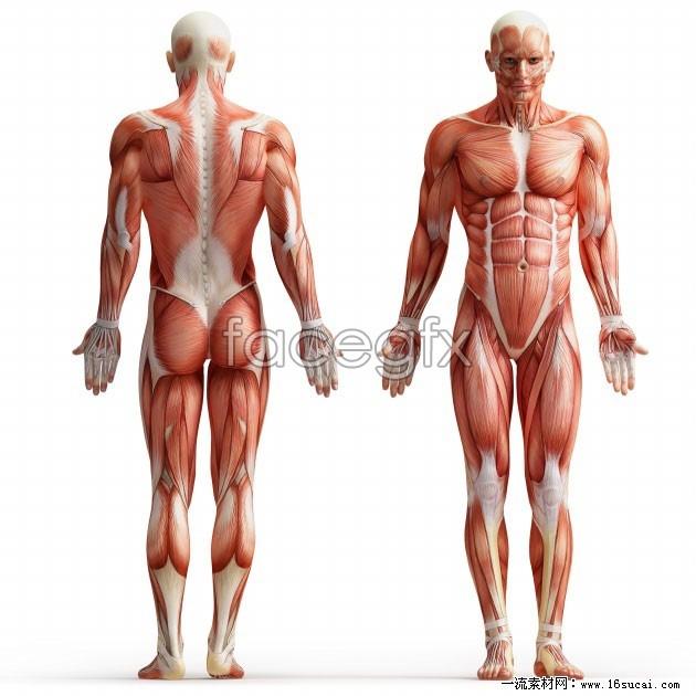 Download HD human muscle Anatomy Diagrams