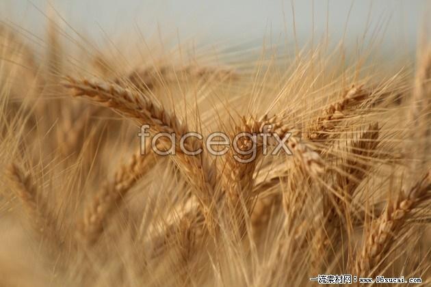 Fusarium ear high definition pictures