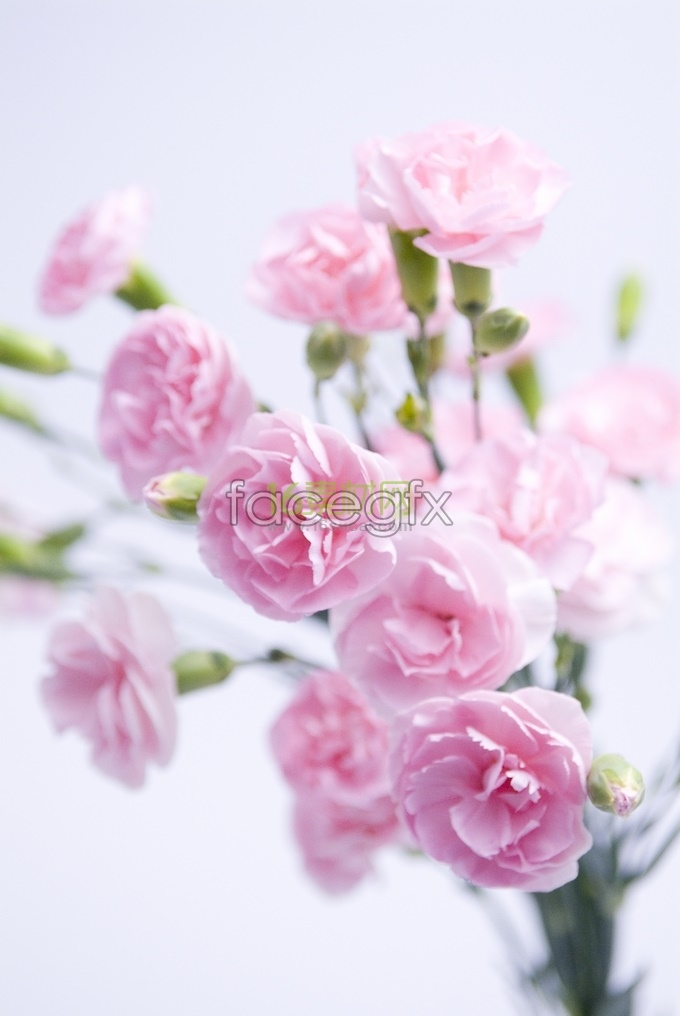 Pink Carnation high definition pictures