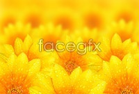 HD yellow Daisy picture
