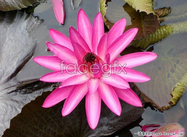 Red Lotus high definition pictures