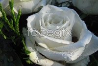 White rose photo HD pictures