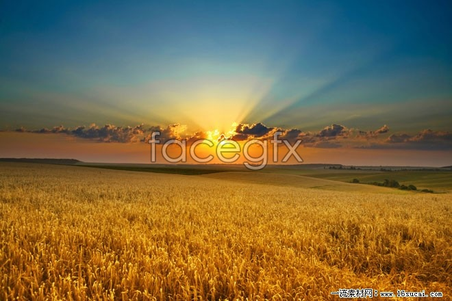 Golden rice field evening scenery high definition pictures