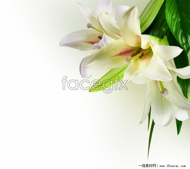 HD white lilies pictures
