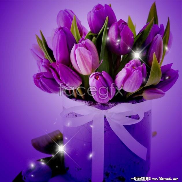 Purple Tulip flower pictures HD