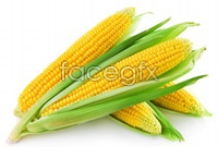 Corn pictures HD