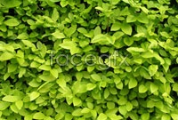 HD green leaf  picture