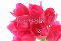 HD red tulips bouquet pictures