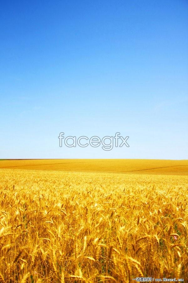 Golden Wheat field in an open field landscapes HD pictures