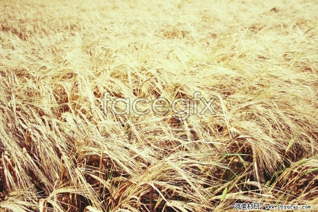 HD decadent yellow wheat picture