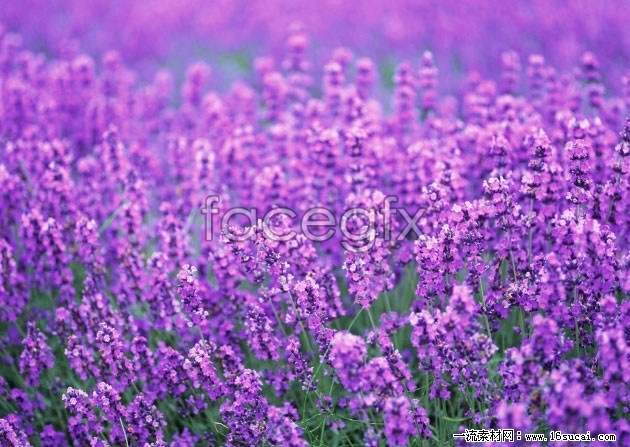 Lavender high definition pictures