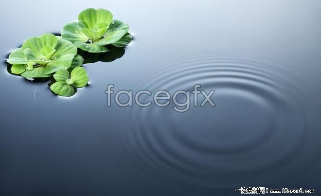 Lotus pond Lotus Leaf HD Photo