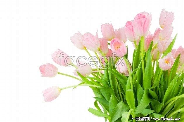 Pink tulips bouquet HD pictures