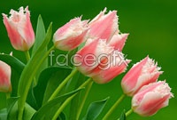 Tulip picture HD