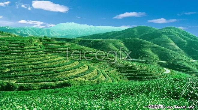 Green tea-high definition pictures