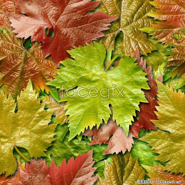 High definition grape leaf picture
