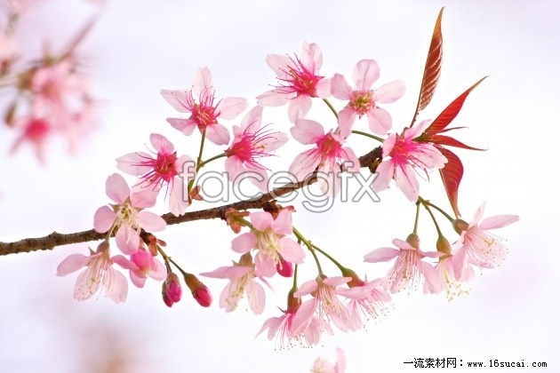 Pink peach blossom HD picture