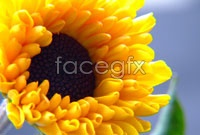 Yellow chrysanthemum HD picture