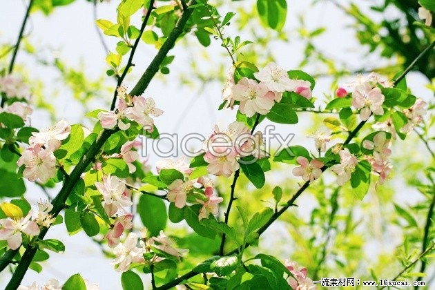 Cherry blossoms high definition pictures