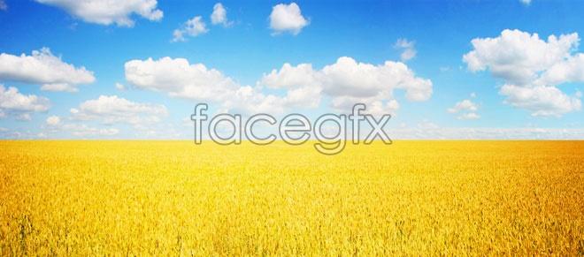HD golden wheat fields scenery picture