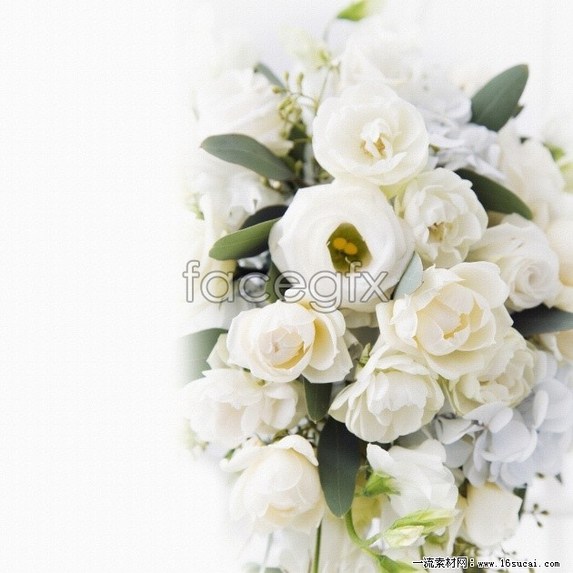 Download HD white roses pictures