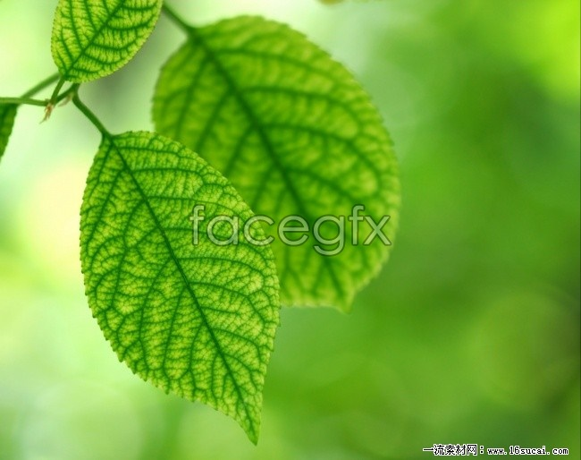 Leaves high-definition pictures